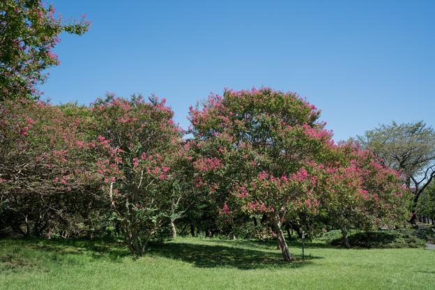 59昭和記念公園【カナール北側斜面:百日紅】1