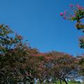 Photos: 61昭和記念公園【カナール北側斜面:百日紅】3