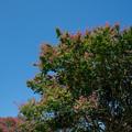 Photos: 62昭和記念公園【カナール北側斜面:百日紅】4