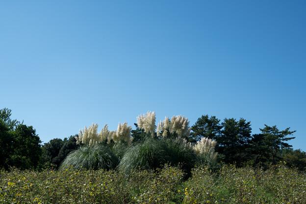 56昭和記念公園【もみじ橋近くの丘:パンバスグラス】1