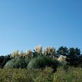 Photos: 56昭和記念公園【もみじ橋近くの丘:パンバスグラス】1