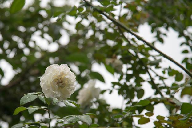 29YEG【夏バラマリー・キュリーIYC2011】