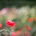 03神代植物公園【秋バラ:フィデリオ】1