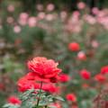04神代植物公園【秋バラ:フィデリオ】2