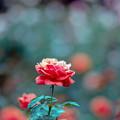05神代植物公園【秋バラ:フィデリオ】3銀塩NLP