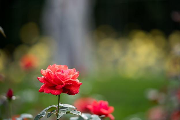 06神代植物公園【秋バラ:フィデリオ】4