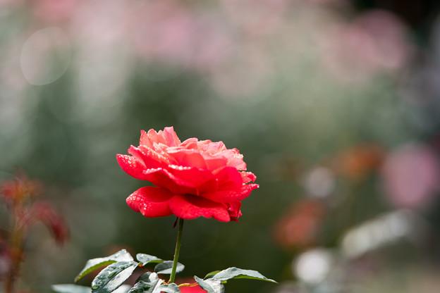 07神代植物公園【秋バラ:フィデリオ】5
