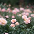 08神代植物公園【秋バラ:シルバ】1