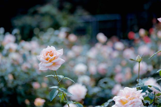 09神代植物公園【秋バラ:シルバ】2銀塩NLP