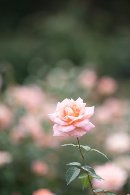 10神代植物公園【秋バラ:シルバ】3