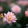 11神代植物公園【秋バラ:シルバ】4