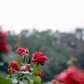 13神代植物公園【秋バラ:パパ・メイアン】1銀塩NLP