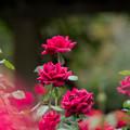 14神代植物公園【秋バラ:パパ・メイアン】2