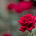 17神代植物公園【秋バラ:パパ・メイアン】5