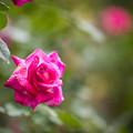 19神代植物公園【秋バラ:ローズ・ゴジャール】2