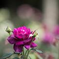 22神代植物公園【秋バラ:イントゥリーグ】1