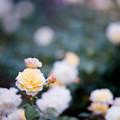24神代植物公園【秋バラ:ムーン・スプライト】1銀塩NLP
