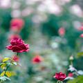 26神代植物公園【秋バラ:マリア・カラス】1銀塩NLP