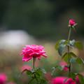 27神代植物公園【秋バラ:マリア・カラス】2