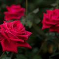 29神代植物公園【秋バラ:クリスチャン・ディオール】2