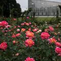 30神代植物公園【秋バラ:朝雲】1