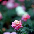 31神代植物公園【秋バラ:朝雲】2銀塩