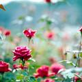28神代植物公園【秋バラ:クリスチャン・ディオール】1銀塩NLP
