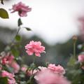 32神代植物公園【秋バラ:クイーン・エリザベス】1