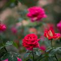 34神代植物公園【秋バラ:クローネンブルグ】1