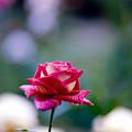 35神代植物公園【秋バラ:クローネンブルグ】2銀塩NLP