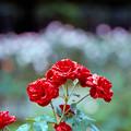 38神代植物公園【秋バラ:ラバグルート】1銀塩NLP