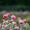 40神代植物公園【秋バラ:カリーナ】1