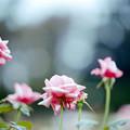 41神代植物公園【秋バラ:カリーナ】2銀塩NLP