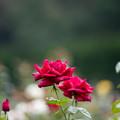 42神代植物公園【秋バラ:クイーン・オブ・神代】1