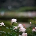44神代植物公園【秋バラ:ロイヤル・ハイネス】1