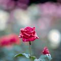 47神代植物公園【秋バラ:アメリカン・スピリット】2銀塩NLP