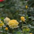 48神代植物公園【秋バラ:伊豆の踊子】
