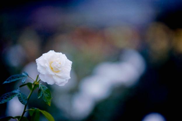 49神代植物公園【秋バラ:ファビュラス】