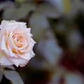 50神代植物公園【秋バラ:エメラルド・アイル】銀塩NLP
