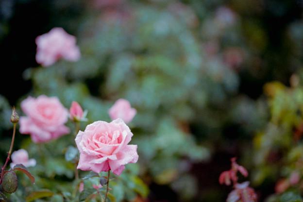 52神代植物公園【秋バラ:芳純】銀塩NLP