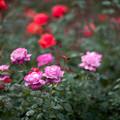 53神代植物公園【秋バラ:ブルーリバー】