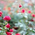 54神代植物公園【秋バラ:アメリカーナ】銀塩NLP