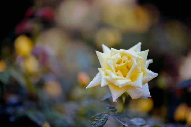 55神代植物公園【秋バラ:天津乙女】銀塩NLP