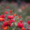 56神代植物公園【秋バラ:錦絵】