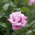 57神代植物公園【秋バラ:シャルル・ド・ゴール】