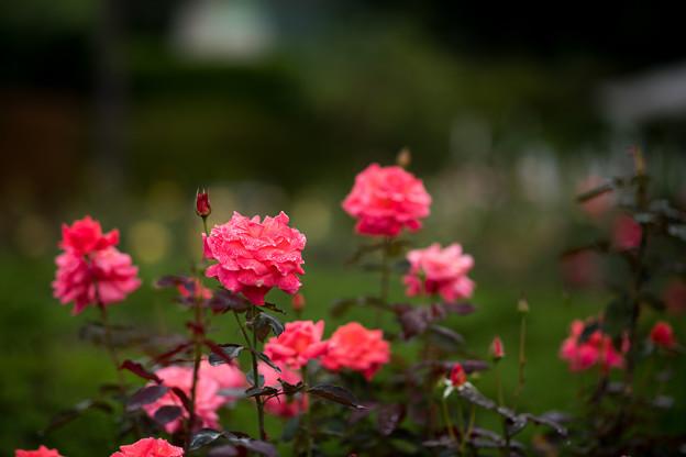 58神代植物公園【秋バラ:ポリネシアン・サンセット】