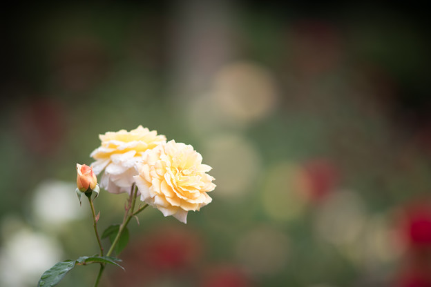 62神代植物公園【秋バラ:ブライダル・ホワイト】