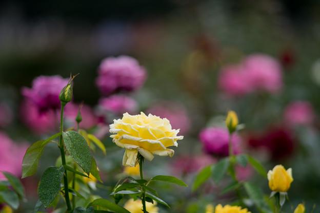 63神代植物公園【秋バラ:ドフトゴールド】