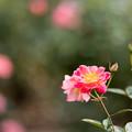 68神代植物公園【秋バラ:ファンファーレ】
