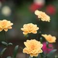 104神代植物公園【ダリア:小舟】1